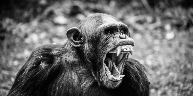 Macaco gritando